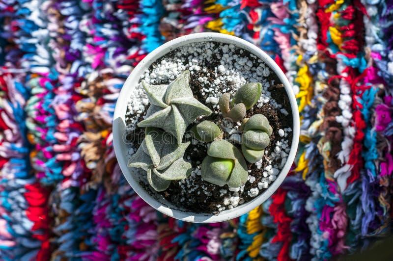 Cactus sur le fond coloré Succulent sur le fond multicolore photos stock