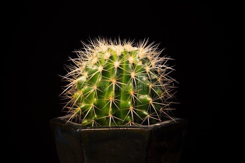 cactus sur le fond noir image stock image du personne 32991761. Black Bedroom Furniture Sets. Home Design Ideas