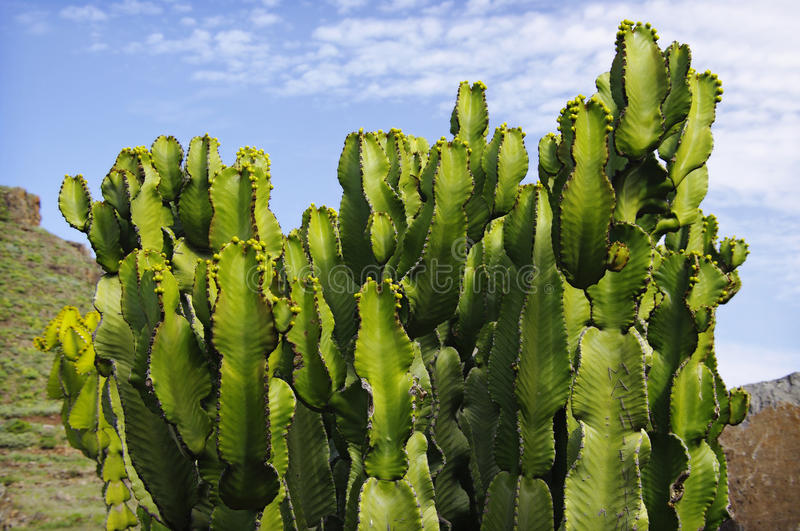Cactus at Tenerife in blue sky background stock images