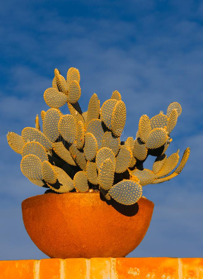 Cactus in Terra Cotta Pot Against Vivid Blue Sky. The vivid colors of the green succulent plants accent nicely against the orange terra cotta pot and the vivid stock photo