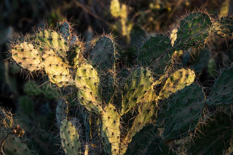 Cactus field stock photography