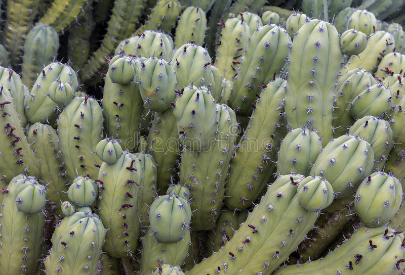 Cactus Texture natural background. Textured natural backdrop stock images