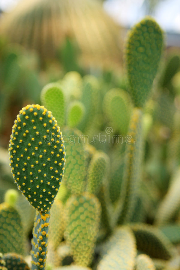 Free Cactus Thorns Royalty Free Stock Photos - 6369888