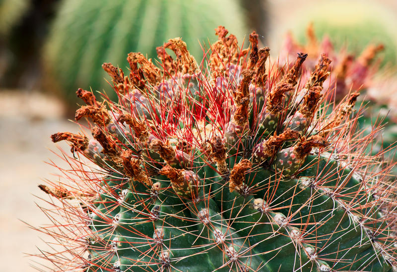 Download Cactus With Thorns And Flowers. Stock Photo - Image: 16486494