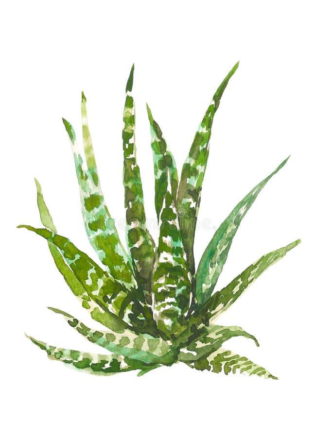 Cactus tiré par la main d'aquarelle, succulent d'isolement sur le fond blanc Illustration botanique d'aquarelle de vintage pour photo libre de droits