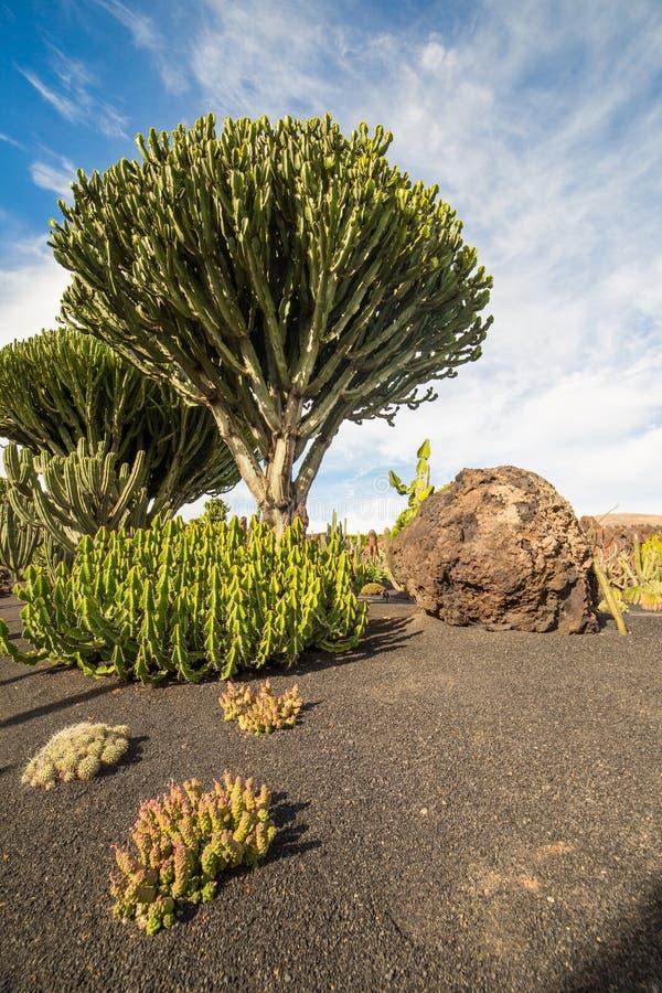 Cactus tree euphorbia ingens in jardin de cactus for Jardin de cactus lanzarote