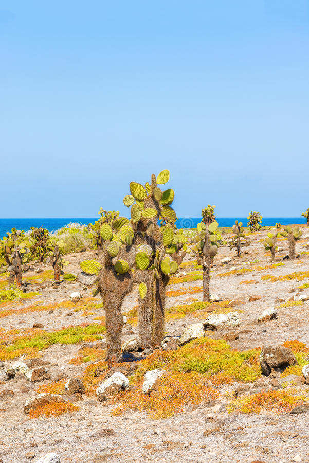 Cactus trees in Galapagos islands royalty free stock photos