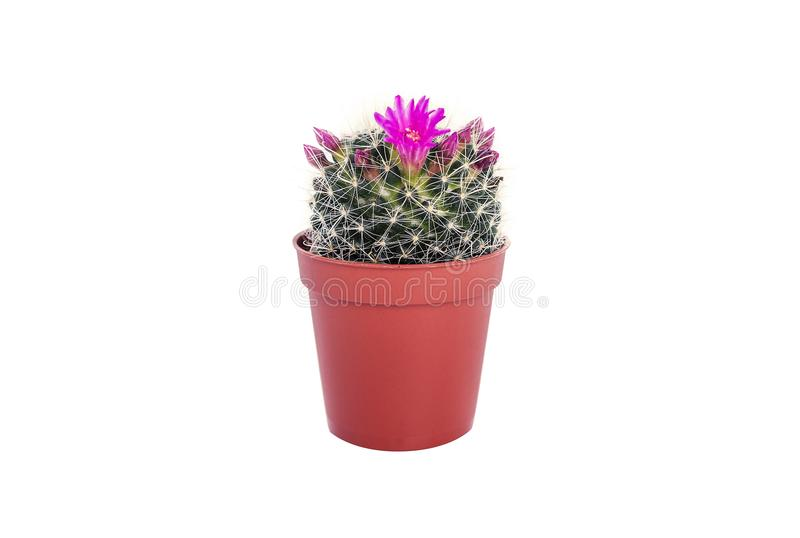 Cactus in un vaso fotografia stock libera da diritti