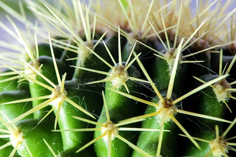 Cactus - una familia de plantas florecientes perennes del clavel de la orden fotografía de archivo libre de regalías