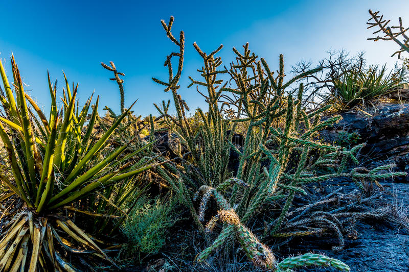 Cactus in the Valley of Fire Lava Field in New Mexico. With Interesting Flow Stone Lava Rocks and Other Desert Plants royalty free stock photography