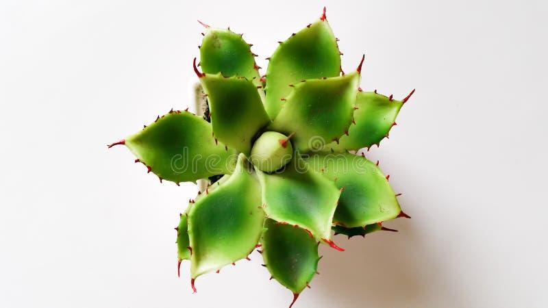 Cactus van hoogste mening royalty-vrije stock afbeelding