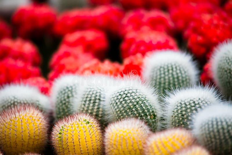 Cactus variopinto della palla immagine stock libera da diritti