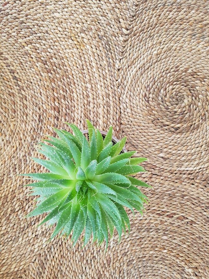 Cactus; vaso; vaso da fiori immagini stock libere da diritti