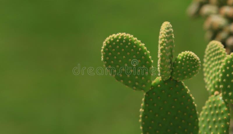 Cactus verde fotografie stock