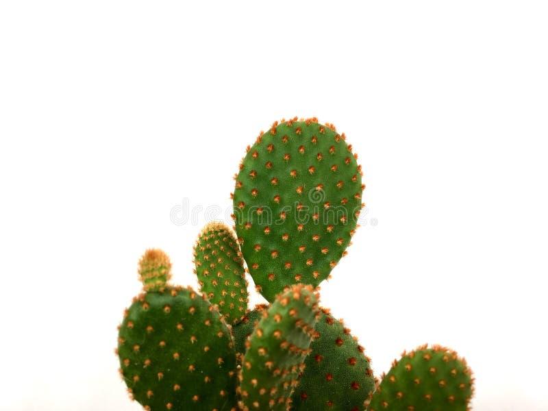 Cactus verde chiaro dell'opunzia del coniglietto isolato su fondo bianco immagine stock libera da diritti