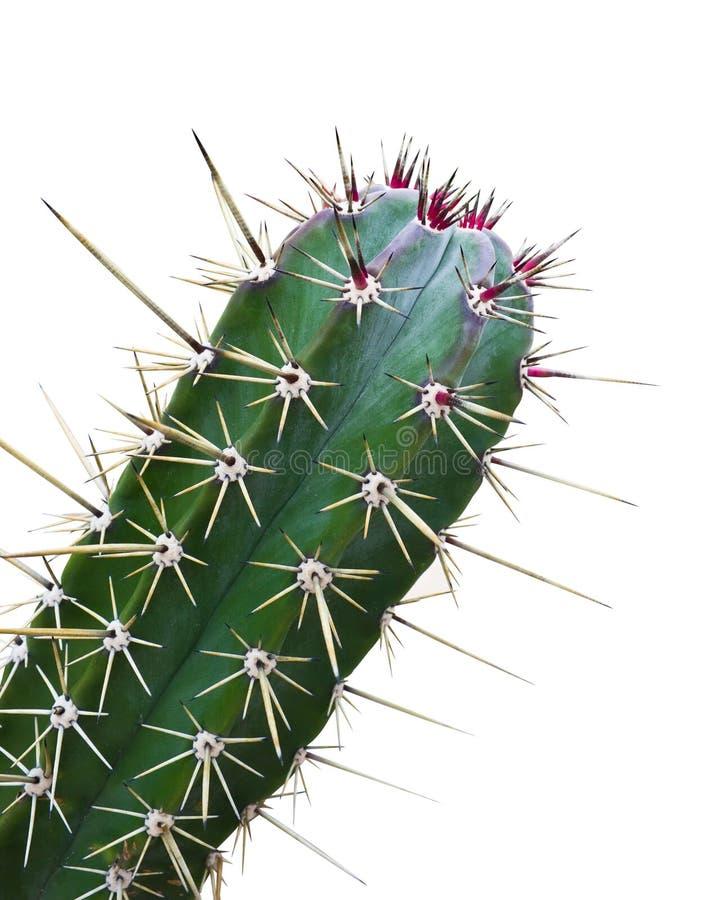 Cactus verde con la espina roja aislada foto de archivo libre de regalías