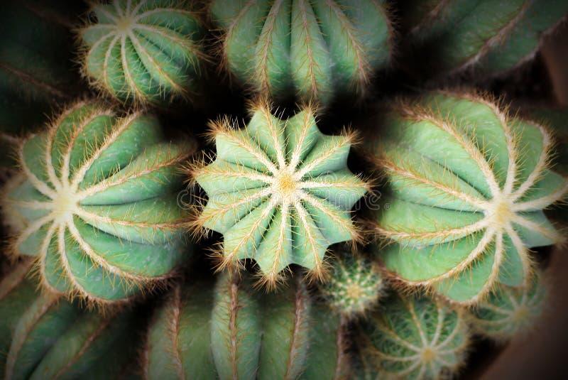 Cactus verde de las flores coloridas de la visi?n superior con el modelo de la textura de la espina del pelo blanco y del oro que imagen de archivo libre de regalías