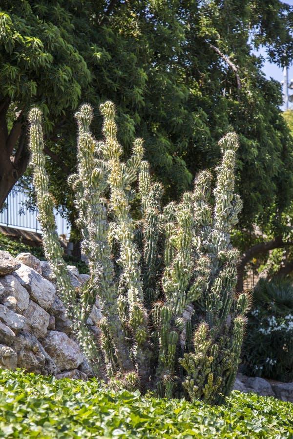 Cactus verde del asno imagen de archivo