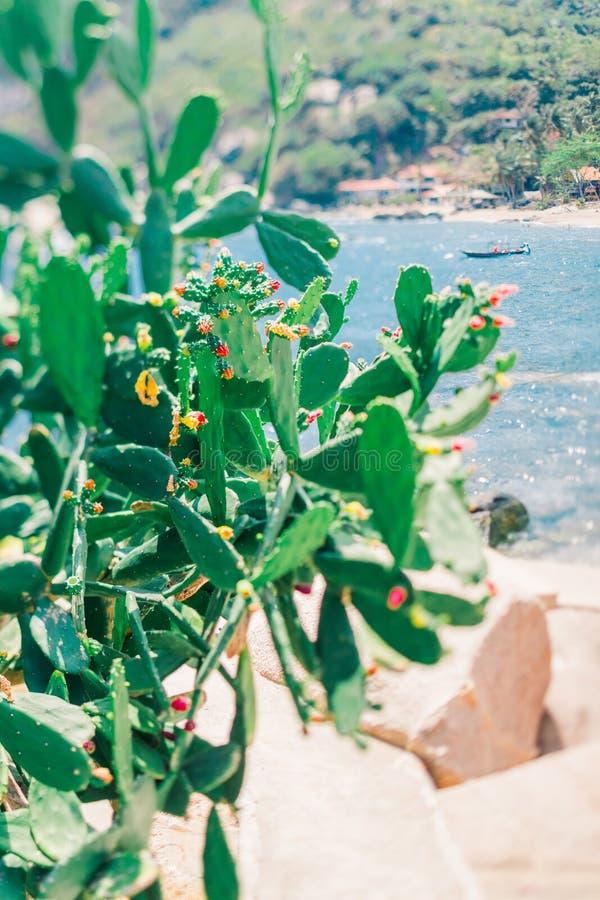 Cactus verde floreciente en un fondo de playas tropicales hermosas Planta tropical Koh Tao Island en Tailandia fotos de archivo