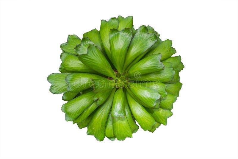 Cactus verde isolato, vista superiore della pianta verde della foglia su bianco, Eupho immagini stock libere da diritti