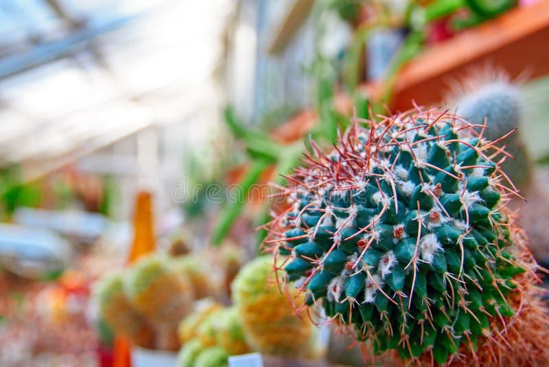 Cactus vert avec les épines rouges lumineuses Mammillaria d'usine avec les épines droites en serre chaude Copiez l'espace image libre de droits