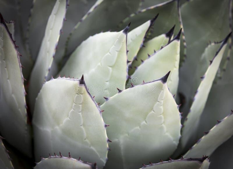 Cactus vert d'usine d'agave photos stock