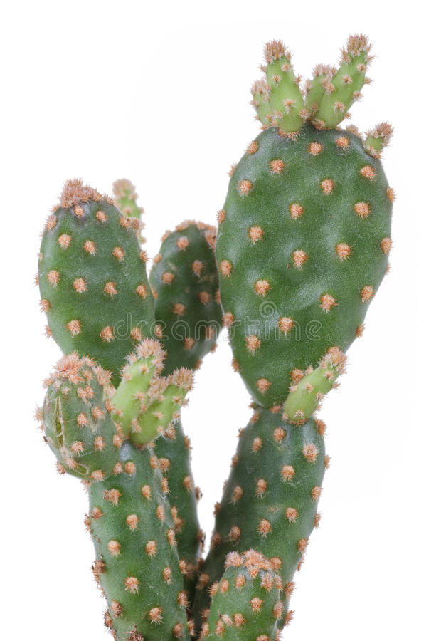 Download Cactus stock photo. Image of blossom, growth, indoor - 40459484