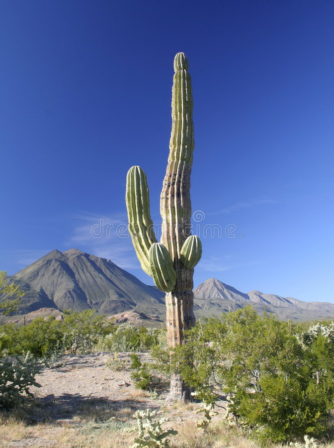 Cactus with volcanoes. Cactus with the three virgins volcanoes over the desert of baja california, mexico