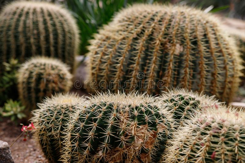 Cactus with white fluffy spines in tropical garden royalty free stock image