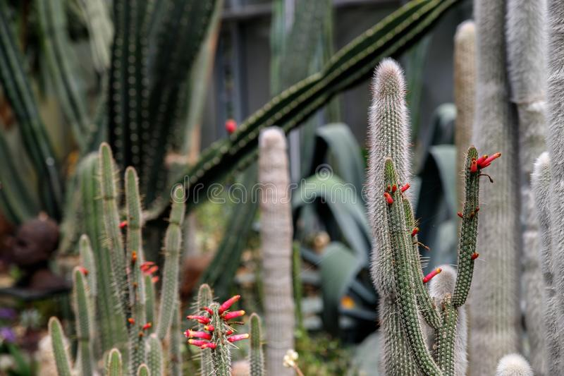 Cactus with white fluffy spines in tropical garden stock image