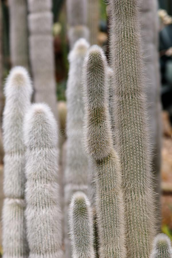 Cactus with white fluffy spines in tropical garden royalty free stock photos