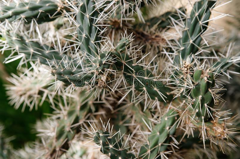 Cactus with white fluffy spines in tropical garden royalty free stock images