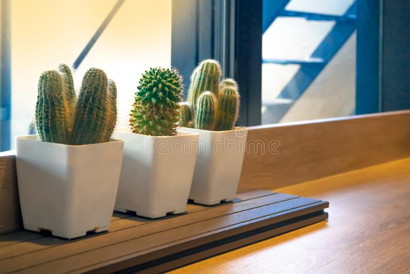 Cactus in white pots stock photo