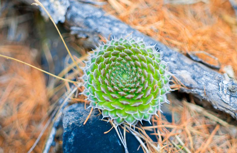 Cactus in the wild lat. Orostachys - a genius with plants belonging to the family Crassulaceae Crassulaceae. Green cactus in the wild lat. Orostachys - a genius stock photo
