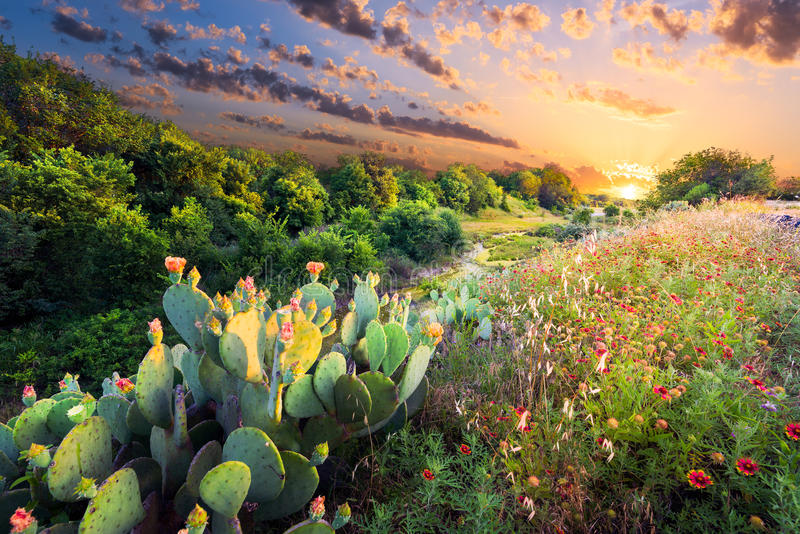 Cactus and Wildflowers at Sunset. Flowering cactus and Indian blanket wildflowers at sunset in Texas stock image