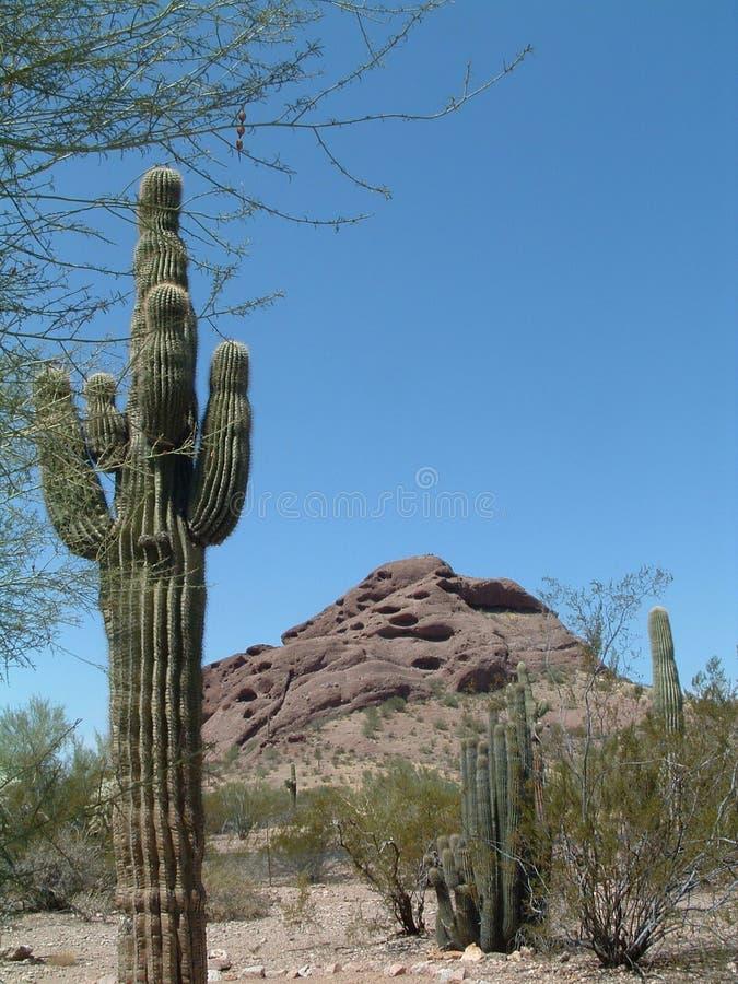 Cactus in Woestijn stock foto's