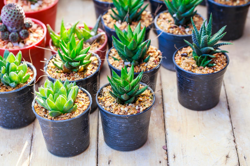Cactus on the wood shelf. Cactus in flower pots on the wood shelf stock photography