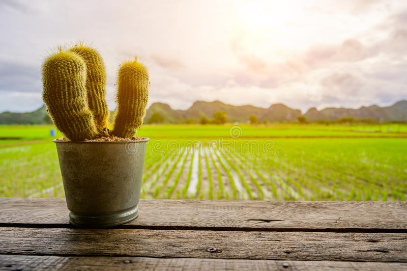 Cactus on wood table on Beval Organic Green Paddy field arkivbild