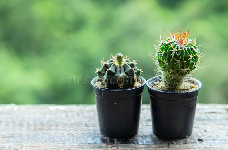 Cactus on wood table with blur background royalty free stock photos