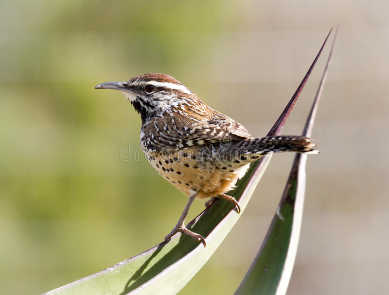 Cactus Wren on Cactus. A cactus wren in Arizona has lit on cactus fronds with a blurred background in this farmable print royalty free stock photo