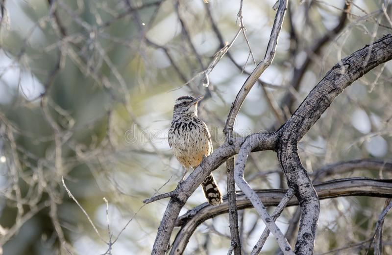 Cactus Wren bird, Tucson Arizona Sonora Desert. The Cactus Wren, Campylorhynchus brunneicapillus, builds nests on the Jumping Cholla. The nests are quite secure stock photography
