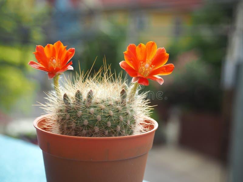 Cactus y amante suculento imágenes de archivo libres de regalías