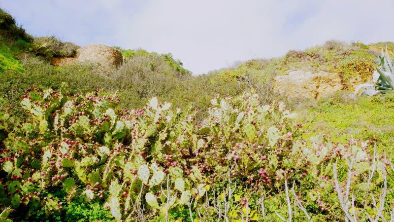 Cactus y flora portugueses foto de archivo
