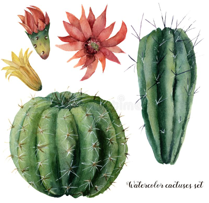 Cactus y flores de la acuarela fijados Grusonii pintado a mano del cirio y del echinocactus con la flor roja y amarilla aislada libre illustration