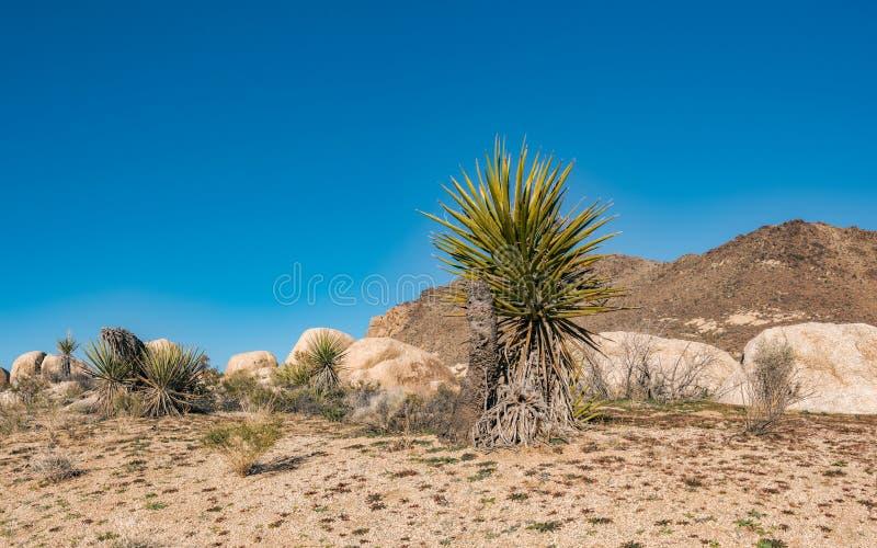 Cactus y palmeras en medio del desierto occidental foto de archivo