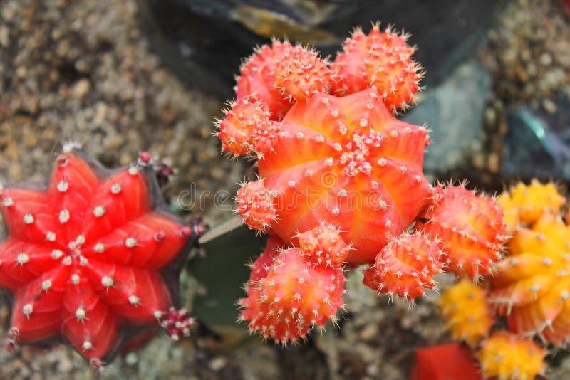 Cactus y succulents en el invernadero imagenes de archivo