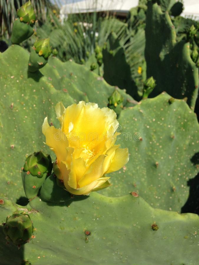 Cactus with yellow flower royalty free stock photography