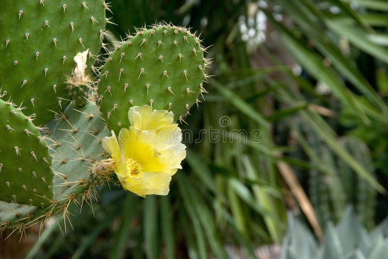 Cactus With Yellow Flowers stock photos