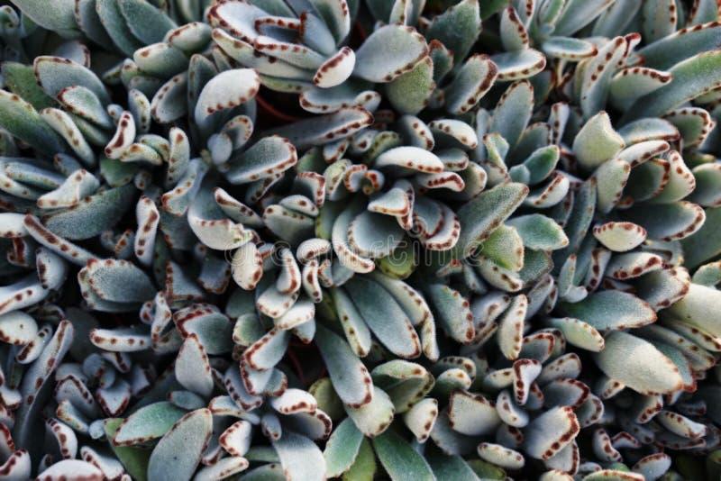 Cactusbladeren royalty-vrije stock afbeelding
