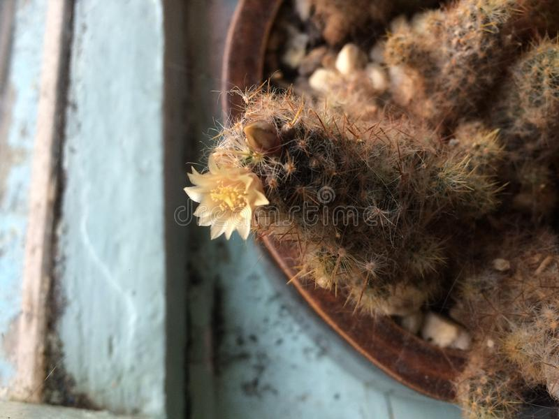 Cactusbloem op het venster royalty-vrije stock afbeeldingen
